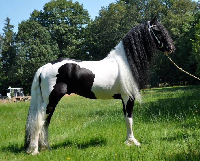 Foto di cavalli in vendita frisobook il social network del for Quanto costa mantenere un cavallo